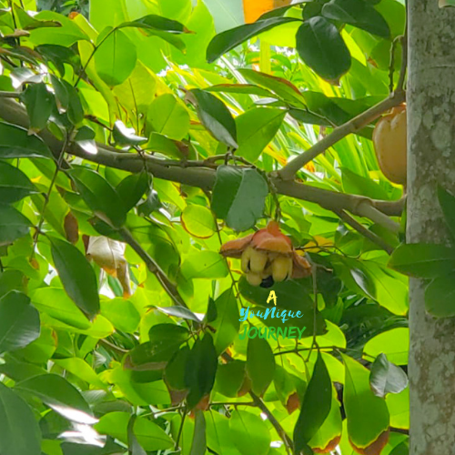 An Ackee pod is fully open and ripe.